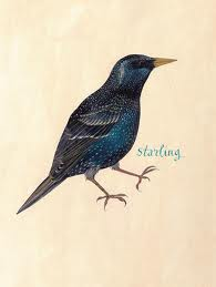 Fisher starling