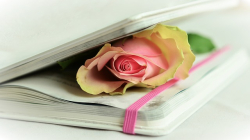 Graphic photo rose inside pages of book