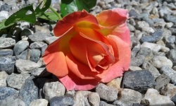 Photo rose growing out of rocks